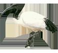 Imagen Ibis sagrado